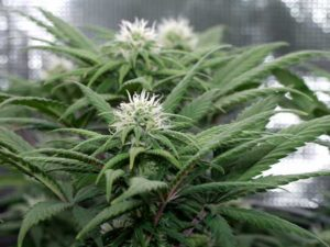 "Cannabis buds that have been grown in composted, amended ""super soil"" by Kind Soil"
