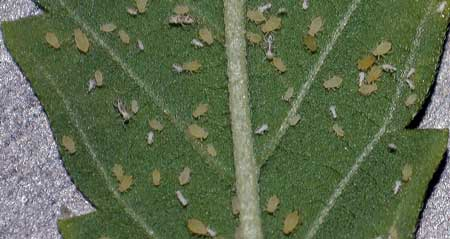 Example of a terrible aphid infestation on a cannabis leaf