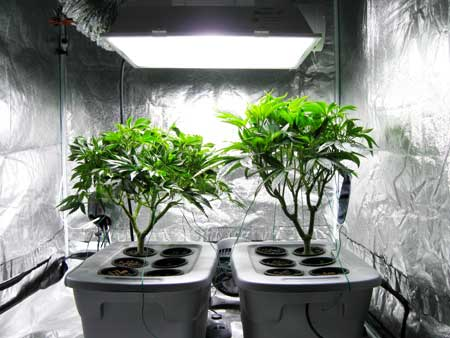Example of two cannabis plants right before the switch to the flowering stage