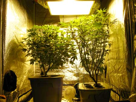 The left Indica plant was lifted up to help it be closer to the grow light