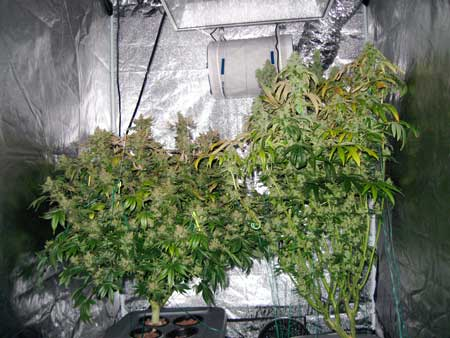 Two cannabis plants just before harvest (Indica on the left, Sativa on the right)
