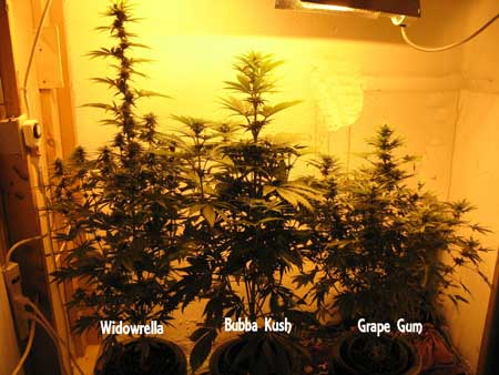 Example of 3 different strains grown together in the same setup without any training - look how different their heights are from each other!