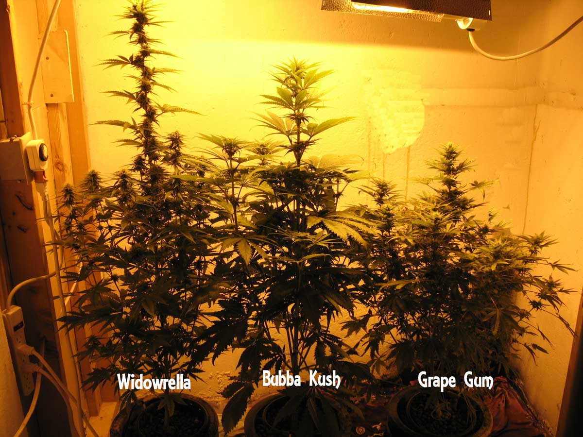 Growing Different Strains Together | Grow Weed Easy