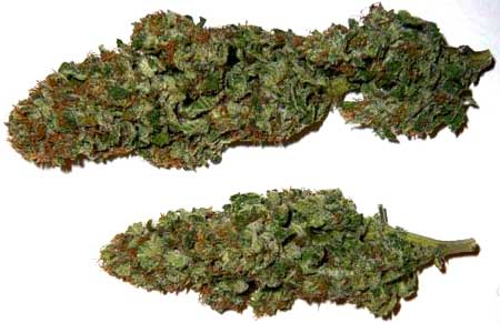 Example of dried and cured cannabis buds