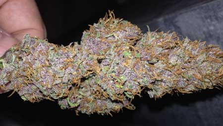 The bright purple becomes more muted as the cannabis buds are dried and cured