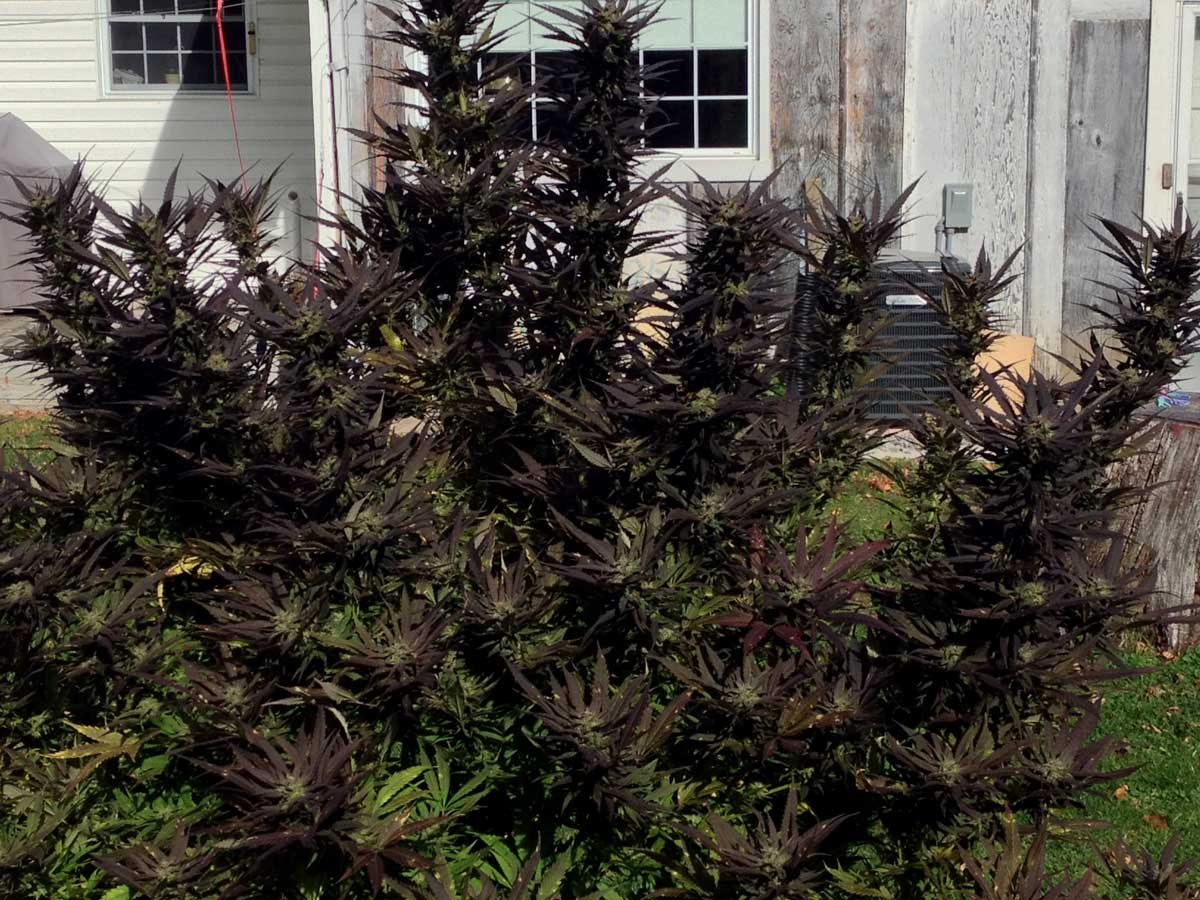How to Grow Pink or Purple Cannabis Buds | Grow Weed Easy | 1200 x 900 jpeg 182kB