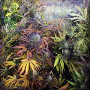 Colorful Swiss Cheese cannabis plant with red, purple and pink leaves