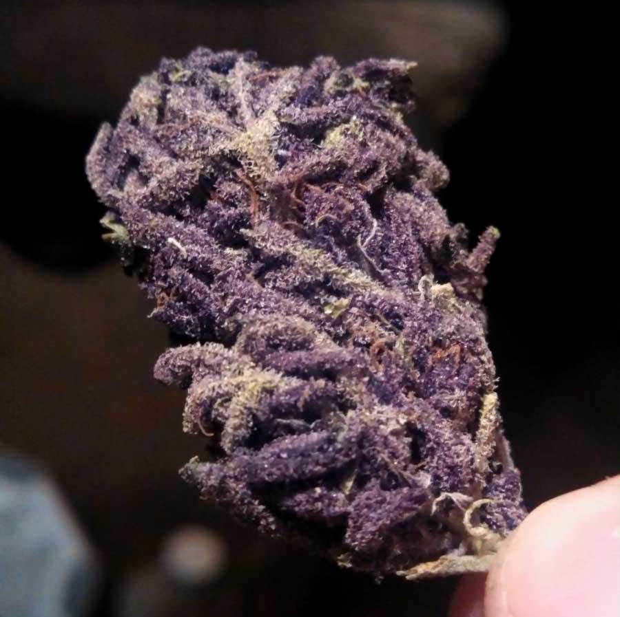Have hit purple marijuana nugs theme