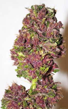 Another example of a Smooth Smoke cannabis bud that's become a vibrant pink purple