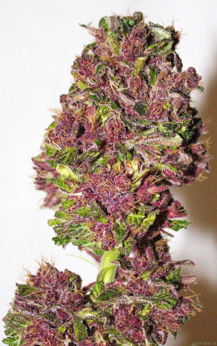 how to become certified to grow marijuana