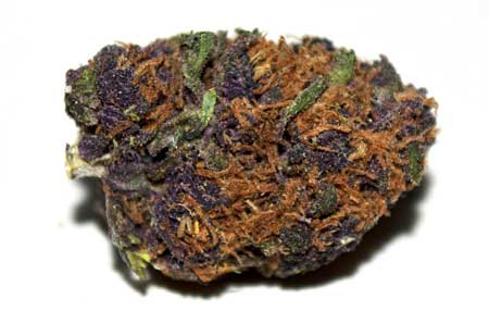 This Purple Thunderwreck cannabis buds is deep purple