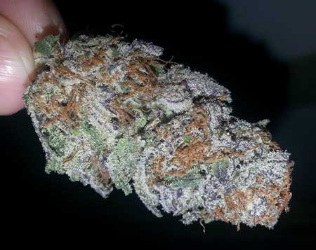 This Purple Trainwreck cannabis bud turned particularly purple