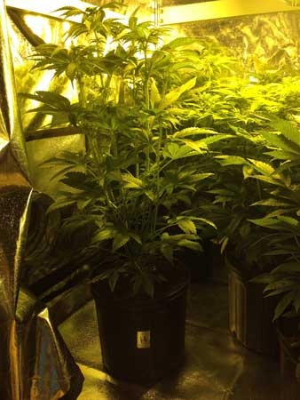 Crowded grow tent full of big, bushy cannabis plants!