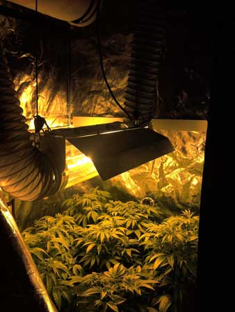Example of many cannabis plants stuffed into a grow tent in a Sea of Green style setup