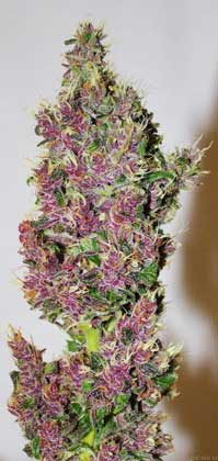 Pink and Purple Smooth Smoke cannabis bud