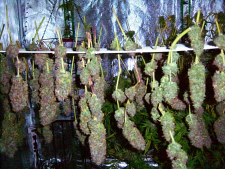 These drying Super Purple Haze buds are partly purple