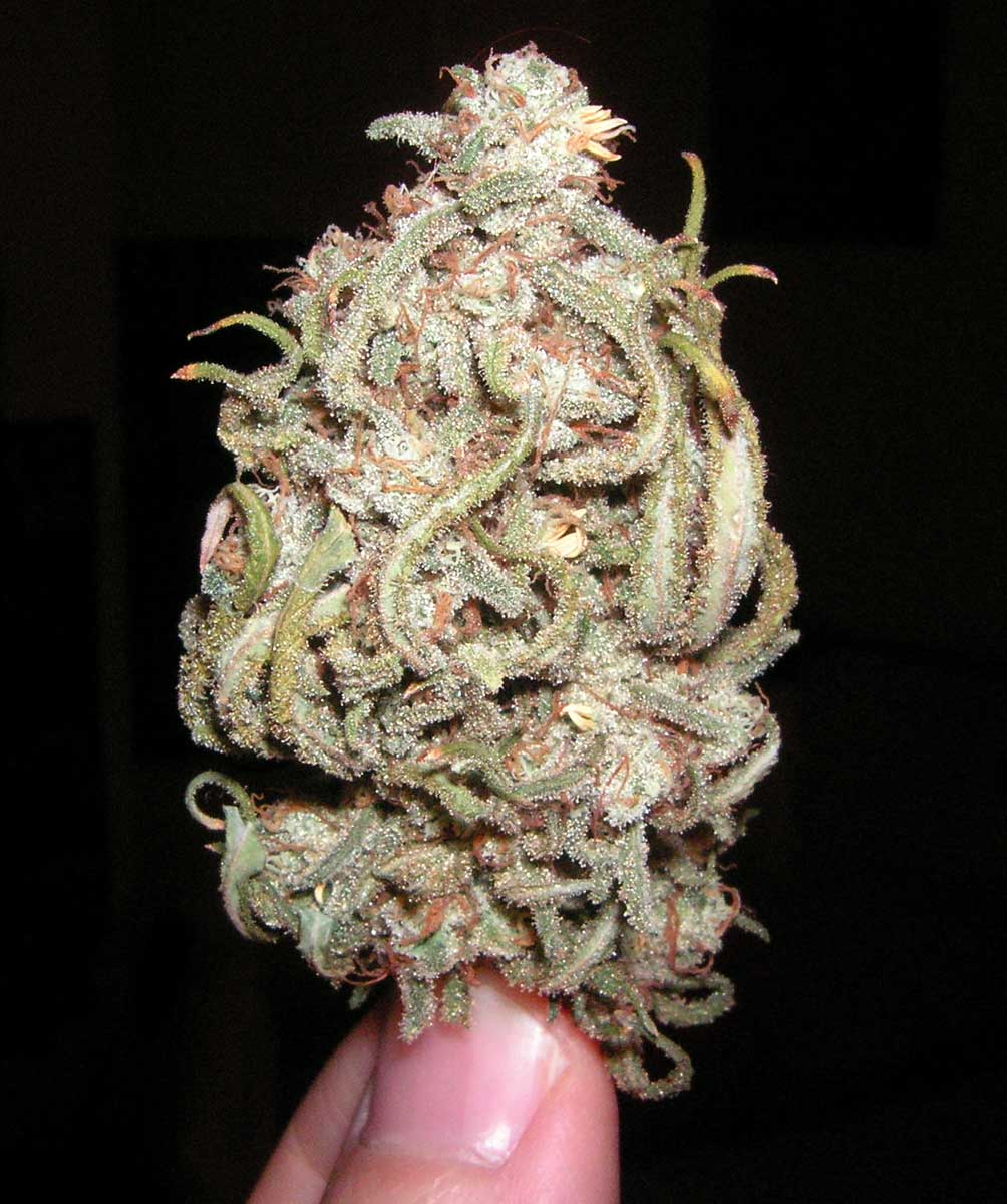 A Guide To Growing Sativa Strains Indoors Grow Weed Easy