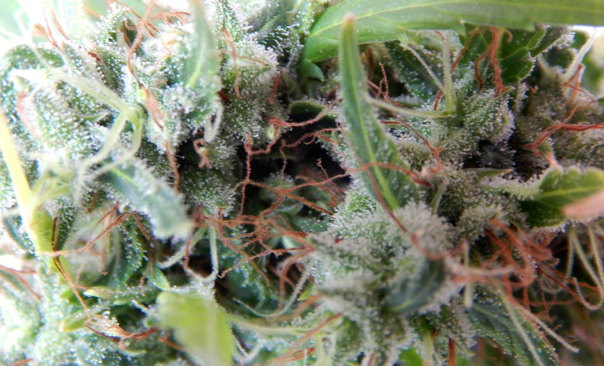 how to grow simple weed indoors