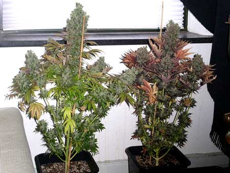 Example of plants that were a good height at harvest