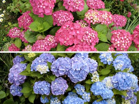 Example of Hydrangea Macrophylla flowers, which can appear either blue or pink depending on the pH of the soil