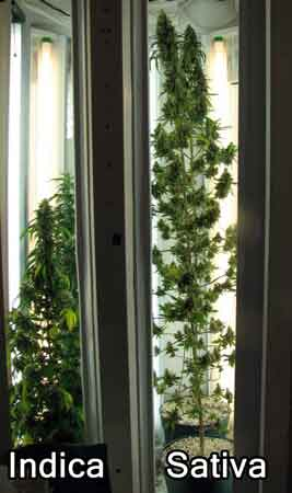 An example of an Indica and a Sativa plant grown together in the same environment from seed.