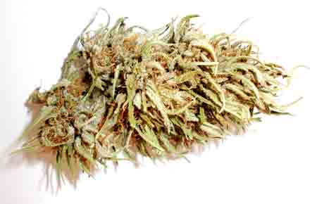 "Leafy dried buds of a ""pure"" cannabis Sativa - looks a lot different from your standard dispensary bud!"