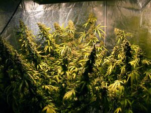 Happy flowering cannabis plants