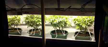 A Guide to Growing Sativa Strains Indoors | Grow Weed Easy