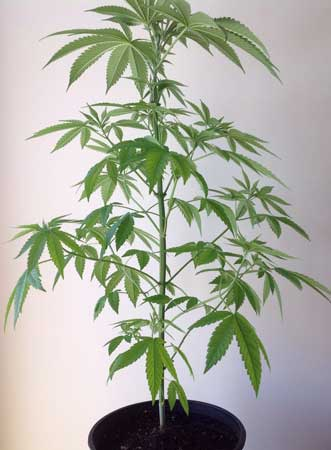 Example of a cannabis plant that doesn't need to be defoliated because it already has lots of stem exposed