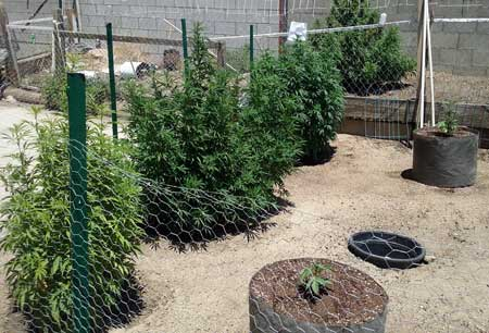 Example of bushy and happy outdoor cannabis plants