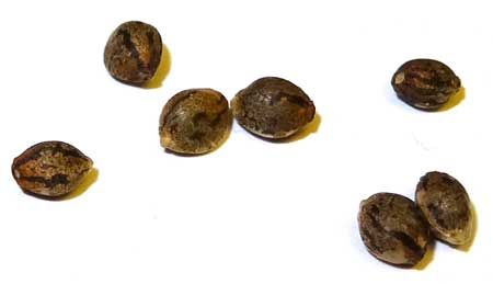 Closeup of marijuana seeds - look at their cute little stripes :)