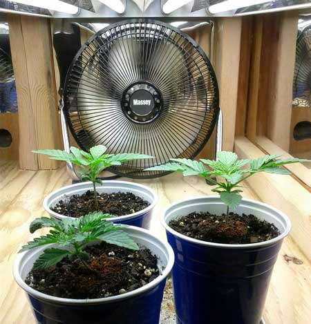 Day 13 marijuana plants - Auto Northern Lights