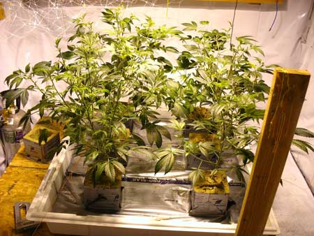 These trained cannabis plants have many colas