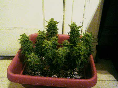 Small topped cannabis plant at harvest day