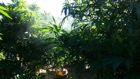These idyllic cannabis plants love the outdoors :)