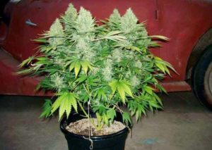 Cannabis plant growing in coco coir