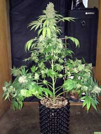 Example of a natural-grown marijuana plant with one main stem