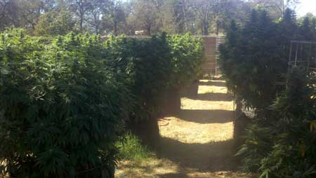 Example of a huge outdoor marijuana plant - these plants produce a ton of buds, but they are more likely to suffer from problems such as bud rot or mold