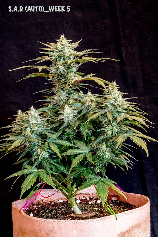 Auto-Flowering Training for Bigger Yields | Grow Weed Easy