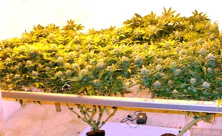 Lots of fat colas from ScrOG setup - this is the result of training a plant to grow along a screen