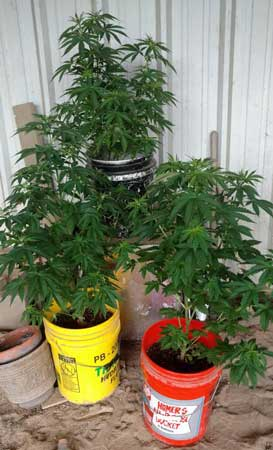 Example of beautiful healthy auto-flowering plants outdoors