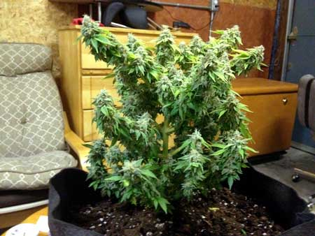 Example of a cannabis plant that was topped at the 8th node