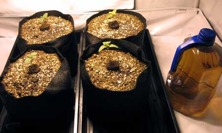 Example of cannabis seedlings growing in coco coir in smart pots
