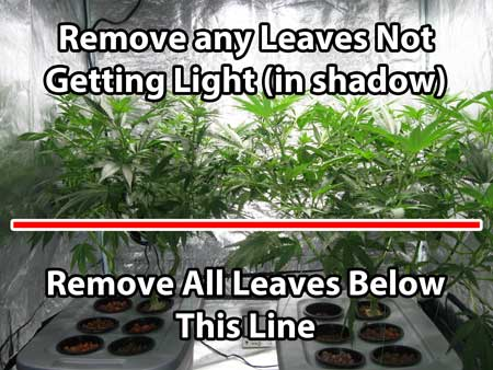 Remove all the leaves below the line on these marijuana plants (lollipop them)