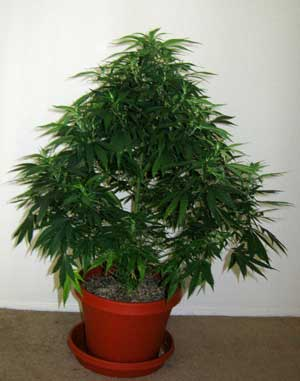 Example of an untrained cannabis plant that was allowed to grow naturally in the vegetative stage