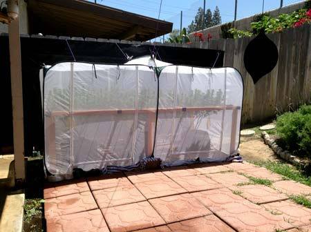 "Example of a homemade ""greenhouse"" for outdoor marijuana plants"