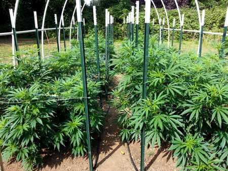 Cannabis plants growing under a frame, which can be used to put shade cloth over the plants