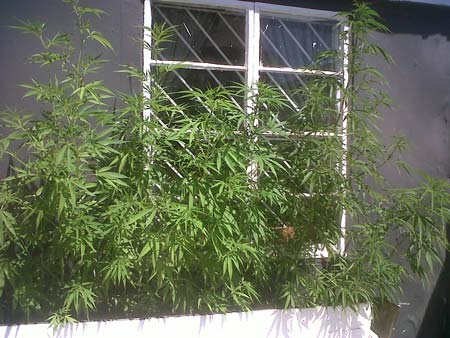 This is NOT stealthy! Never grow cannabis plants openly where anyone can see it!