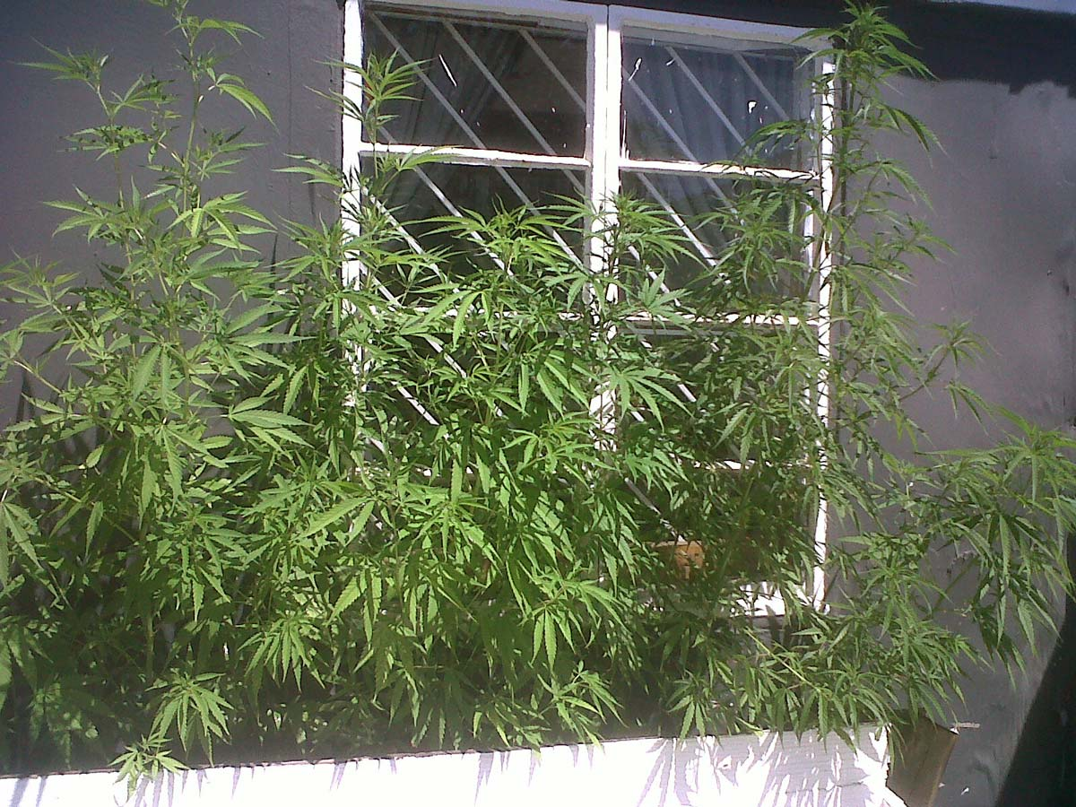 Stealth Ideas For Growing Weed Outdoors Grow Weed Easy