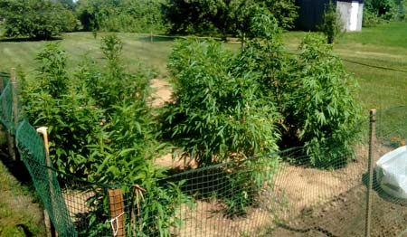 Example of Nirvana strains outdoors in a grouping